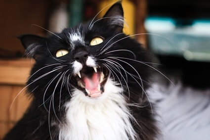 why does my cat's meow sound different?