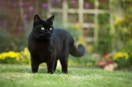 black cat behavior facts