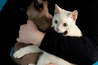 Are Tonkinese Cats Cuddly?